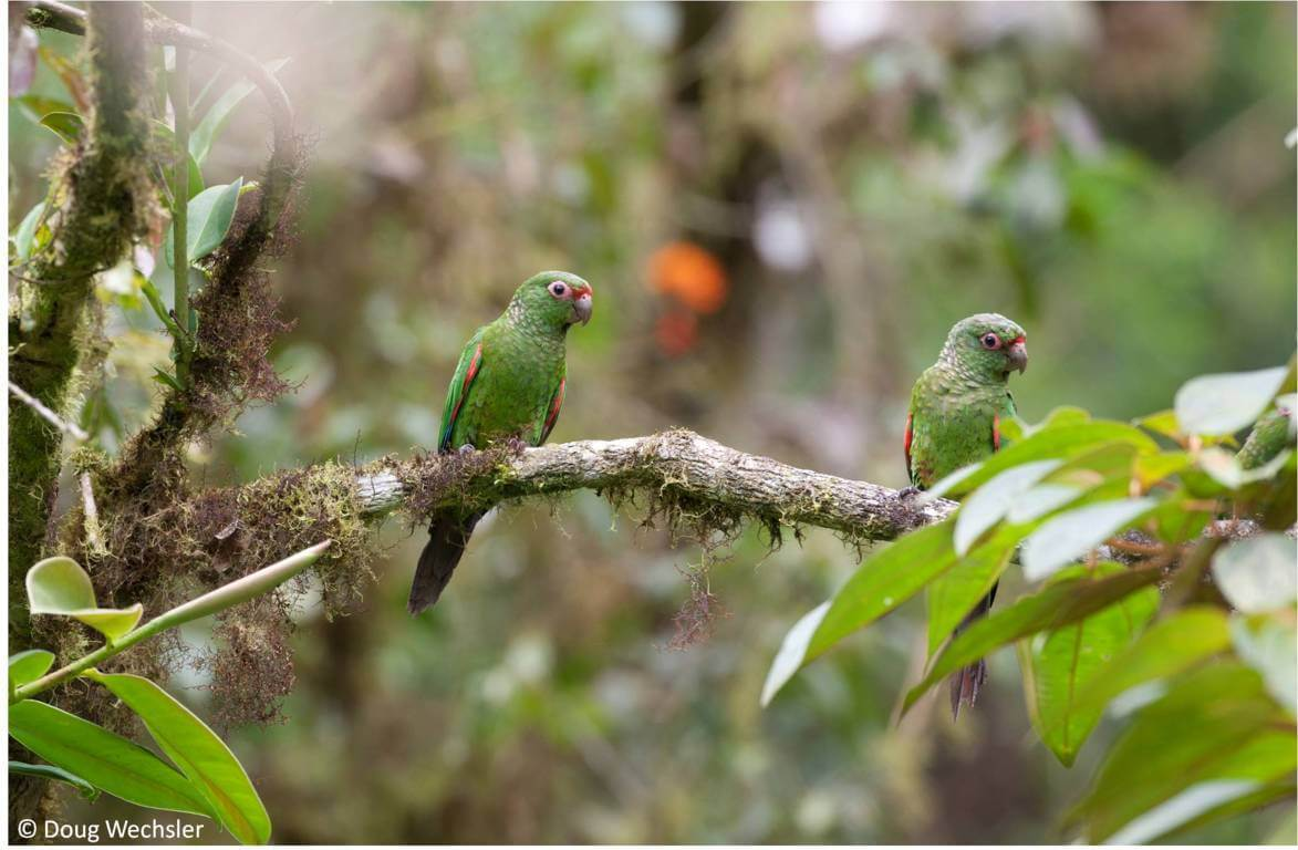 El Oro Parakeet_natural pair