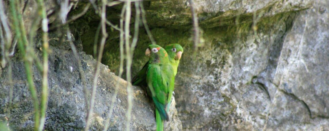 catey couple breeding in stone cliffs of pico san juan region
