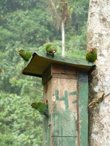 13.El Oro Parakeet group on nestbox_Fundacion Jocotoco